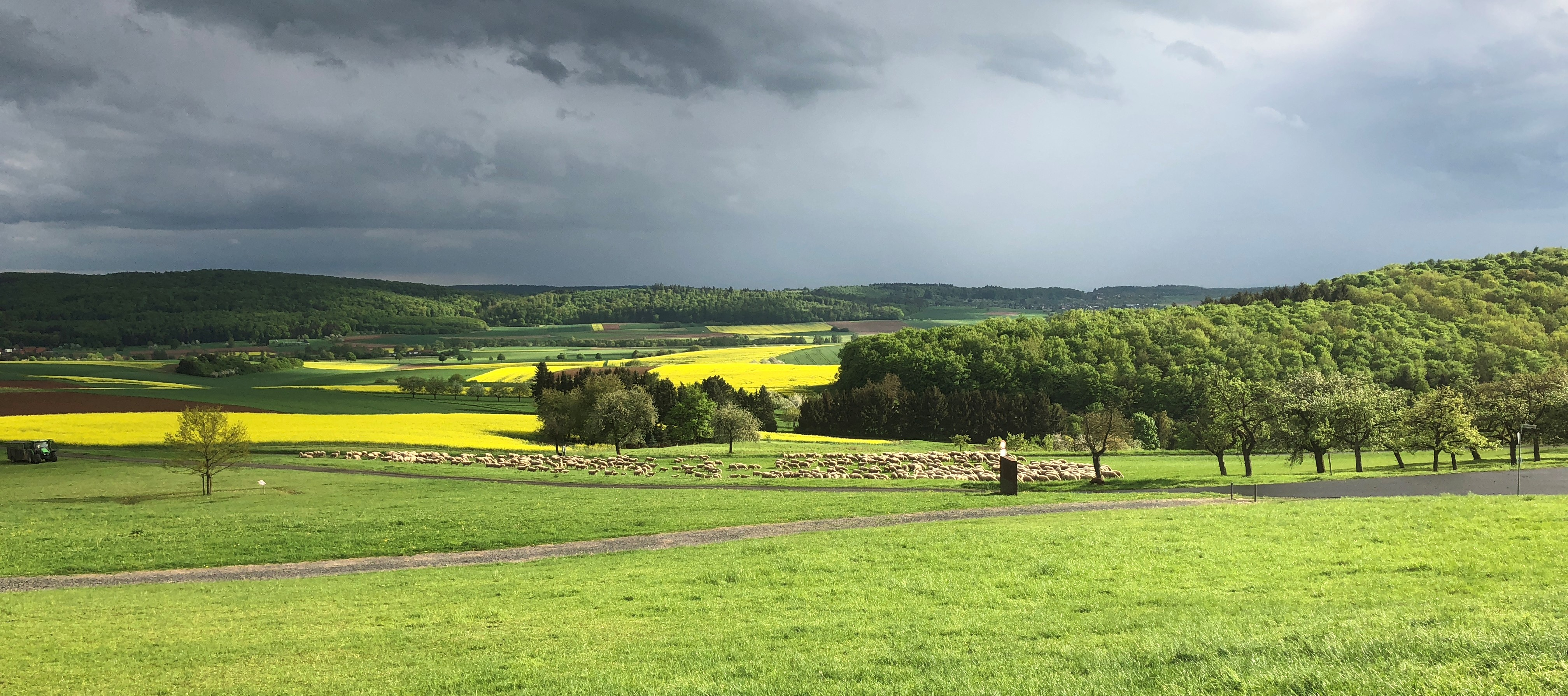 Schafe grasen am Südhang des Glaubergs
